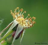 Rose seed head 1a.jpg