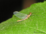 Baetidae - Small Minnow Mayfly male B1a.jpg