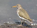 Spotted Sandpiper 12a.jpg