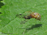 Dictyna sp. - Spider with aphid 1a.jpg
