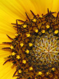Helianthus sp. - Sunflower A1a.jpg