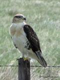 Ferruginous Hawk juvenile 1a.jpg