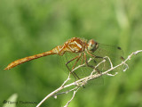 Sympetrum pallipes - Striped Meadowhawk 1a.jpg