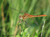 Sympetrum pallipes - Striped Meadowhawk 2a.jpg