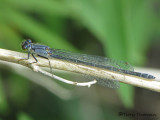 Ischnura damula - Plains Forktail female blue andromorph 1a.jpg
