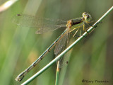 Lestes unguiculatus - Lyre-tipped Spreadwing female 1a.jpg