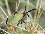 Chelinidea vittiger - Cactus Bug nymph 2.JPG