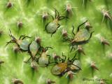 Chelinidea vittiger - Cactus Bug nymphs 4.JPG