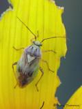 Miridae - Plant Bug D1a.JPG