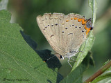 Satyrium acadicum - Acadian Hairstreak 3a.jpg