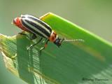 Disonycha pensylvanica - Flea Beetle 1a.jpg