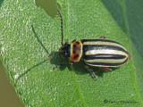 Disonycha pensylvanica - Flea Beetle 2a.jpg