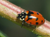 Hippodamia sp. probably quinquesignata - Five-spot Ladybug 1a.jpg