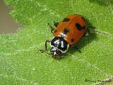 Hippodamia sinuata - Sinuate Ladybug 2a.JPG