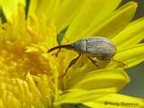 Rhopalapion longirostre - Hollyhock Weevil 1a.jpg