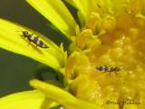 Aeolothripidae - Banded Thrips A1b.jpg
