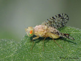 Euaresta aequalis - Fruit fly female 3a.jpg