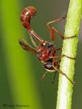 Physocephala sp. - Thick-headed Fly B1a.jpg