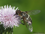 Villa sp. - Bee Fly E1a.JPG