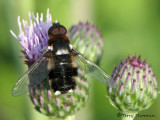 Villa sp. - Bee Fly F1a.jpg