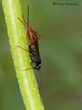 Ichneumonidae - Ichneumon wasp E1a.jpg