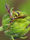 Oryttus sp. - Crabronidae A1a.jpg