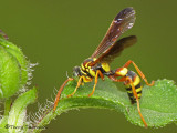 Oryttus sp. - Crabronidae - A2a.jpg