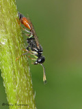 Mellinus abdominalus - Aphid Wasp female A2a.jpg