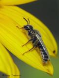 Perdita sp. - Andrenid Bee D1a.JPG