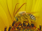 Melissodes sp. - Digger Bee male A1a.JPG