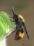 Dasymutilla bioculata - Velvet Ant male C1a.jpg