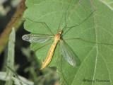 Tipulidae - Crane Fly D1.JPG