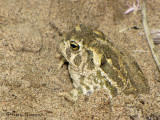Great Plains Toad 5a.jpg