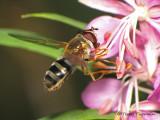 Epistrophe grossulariae - Flower Fly 9a.JPG