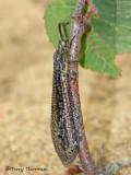 Brachynemurus abdominalis  - Antlion A3a.jpg