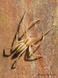 Tibellus sp. - Grass Spider A1a.jpg