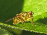 Scathophaga stercoraria - Golden Dung Fly 1a.jpg