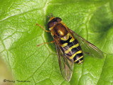 Syrphini - Flower Fly A2b.JPG