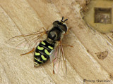 Eupeodes sp. - Flower Fly C4a.jpg