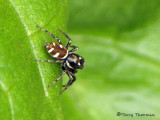 Salticus scenicus - Zebra Spider 1a.jpg