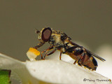 Syritta pipiens - Flower fly 11a.jpg