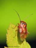 Lygus hesperus - WesternTarnished Plant Bug 1a.jpg