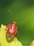 Lygus hesperus - WesternTarnished Plant Bug 2a.jpg