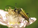 Cosmosalia chrysocoma - Long-horned beetle 1a.jpg