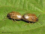 Neottiglossa undata - Stink bugs mating 1a.jpg