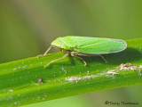 Leafhoppers - Cicadellidae of B.C.