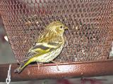 Pine Siskin at feeder 1a.jpg