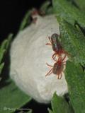Erythraeidae - Velvet mite A1a.jpg