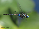 Rhionaecshna  multicolor - Blue-eyed Darner in flight 4b.jpg