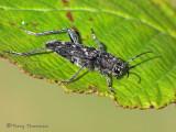 Xylotrechus nauticus - Long-horned Beetle A2a.jpg